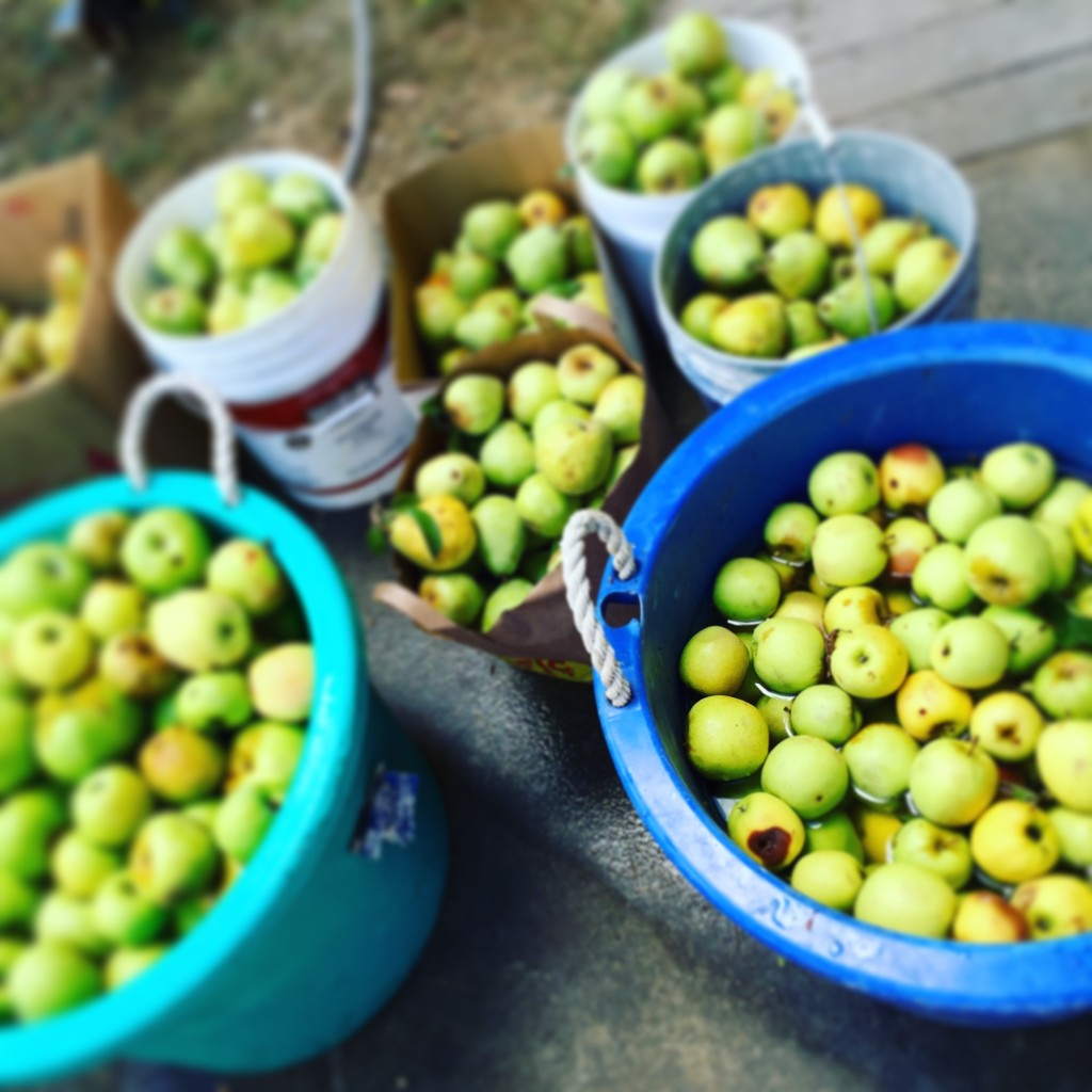 Apple Harvest-Entertaining Sonoma Style™